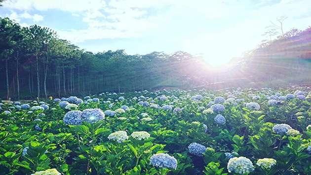 Cánh đồng hoa Cẩm Tú Cầu địa điểm tuyệt đẹp tại Đà Lạt