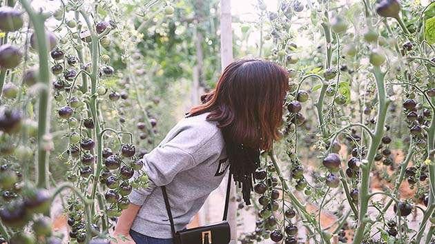 Tham quan vườn cà chua đen Đà Lạt