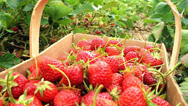 Buy Strawberry Hand Da Lat as a gift