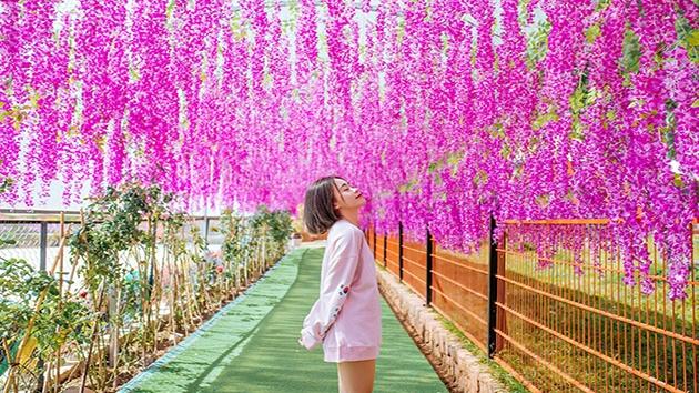 Cánh đồng hoa thu hút quý du khách
