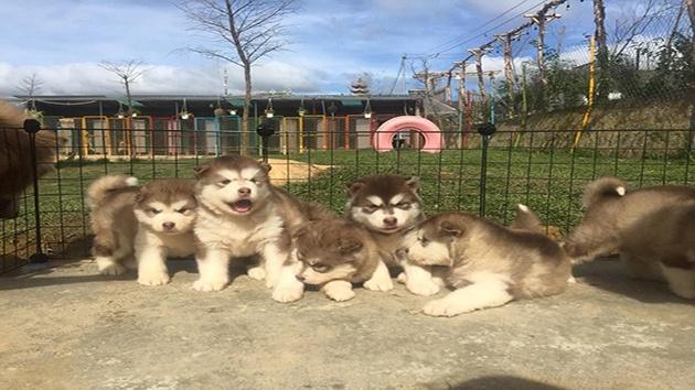 Puppy Farm với rất nhiều giống chó đẹp