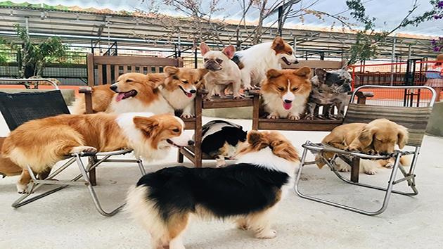Trại chó Corgi - Puppy Farm Đà Lạt