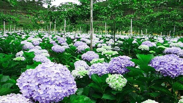 Tham quan cánh đồng hoa Cẩm Tú Cầu trong chương trình tour Đà Lạt 3 ngày 3 đêm