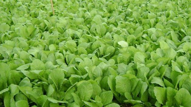 Rau cải xanh Đà Lạt