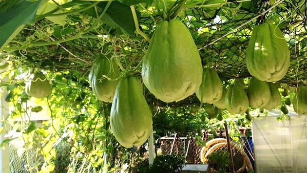 Su Su - Loại cây quan trọng của ẩm thực Mexico