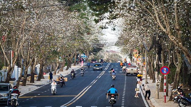 Hoa Ban Trắng - Những bông hoa tuyết tràn ngập phố phường Đà Lạt