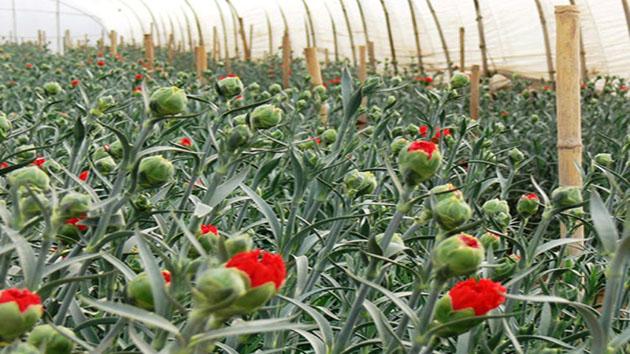 Hoa Cẩm Chướng - Loài hoa của sự ái mộ và lòng tôn kính