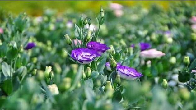 Hoa Cát Tường - Loài hoa mang lại sự may mắn