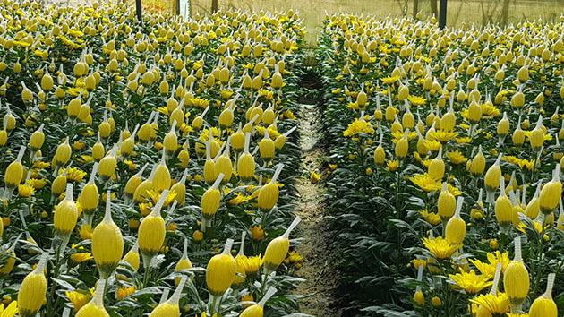Hoa Cúc - Loại hoa được trồng nhiều nhất tại Đà Lạt