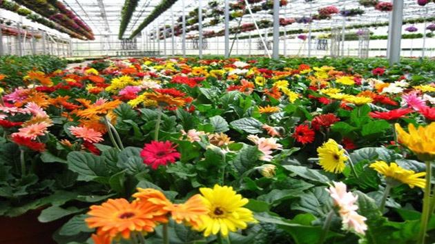 Hoa Đồng Tiền Đà Lạt - Loài hoa với ý nghĩa hạnh phúc và tình yêu