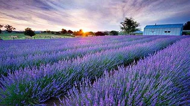 Hoa Lavender - Hoa Oải Hương biểu tượng cho sự thủy chung