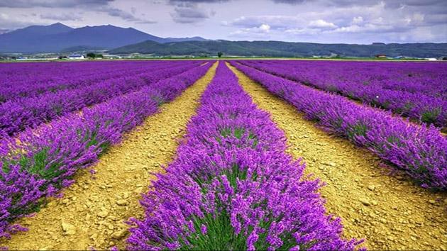 Hoa Lavender - Loài hoa biểu tượng cho sự chung thủy