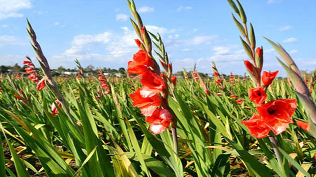 Hoa Lay Ơn - Hoa Dơn loài hoa biểu trưng cho sức mạnh