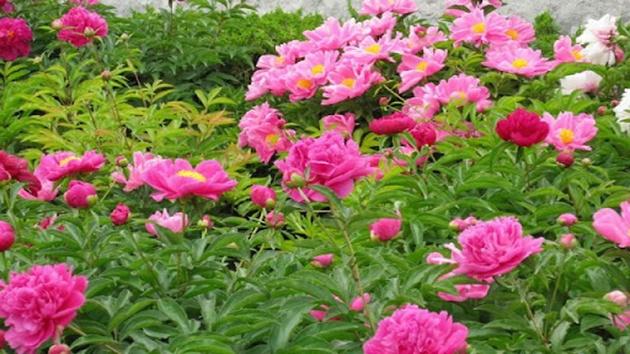 Hoa Mẫu Đơn - Vua của các loại hoa
