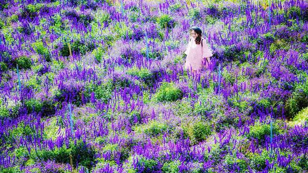 """Hoa Nữ Hoàng Xanh - Loài hoa """"kiêu sa"""" đặc trưng của Đà Lạt"""