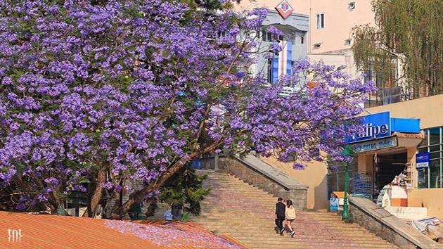 Hoa Phượng Tím - Loài hoa báo hiệu một mùa hè sôi động tại Đà Lạt