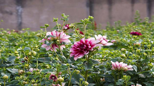 Hoa Thược Dược - Loài hoa được yêu thích nhất vào ngày tết