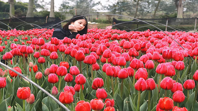 Hoa Tulip Đà Lạt - Loa đẹp nhất thế giới