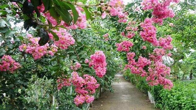 Hoa Tường Vi - Loài hoa mang nhiều ý nghĩa về tình yêu