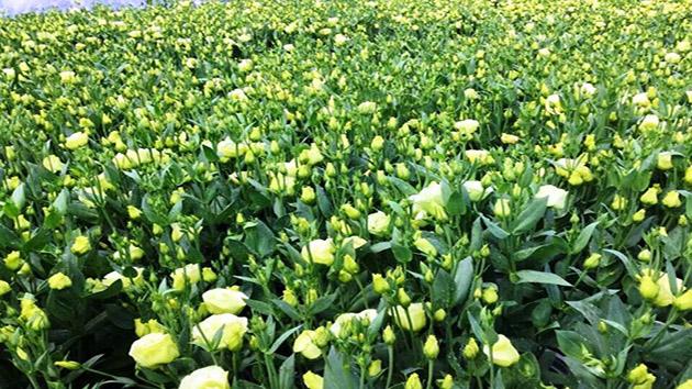 Hoa Cát Tường Đà Lạt - Loài hoa mang lại sự may mắn